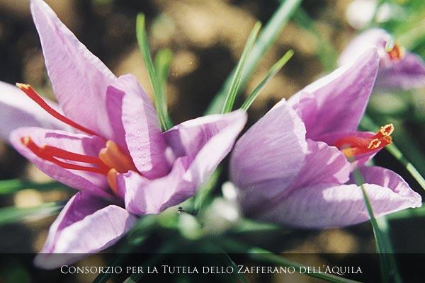 Il fiore del Crocus sativo